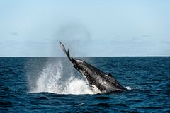 Whale Tail Slapping. Whale migrating south tail slapping off the coast of Australia royalty free stock images