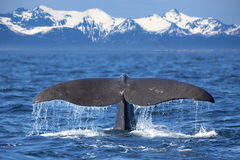 Whale tail. The tail of a Sperm Whale diving Royalty Free Stock Photo