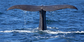 Whale tail. The tail of a Sperm Whale diving Stock Photos