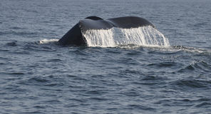 Whale tail. A whale submerges and lifts its tail and shower of water runs off Stock Photos