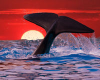 Whale Tail in Sunset. Whale Tail on Ocean Sunset stock photo