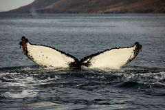 Whale tail watching royalty free stock photo