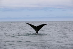 Whale tail. Whale watching in Kaikoura, New Zealand royalty free stock image