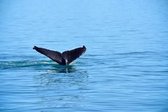 Whale Tail in Alaska. A Whale Tail on a whale watching trip in Juneau, Alaska royalty free stock photography
