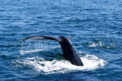 Whale Tail Stock Photography