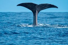 Whale tail. A young sperm whale shows his tail flukes as he dives Stock Photos
