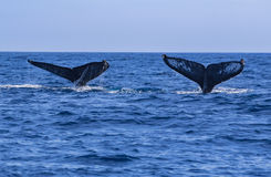 Whale Tails Stock Images