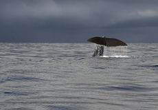 Whale tale. Picture taken on a whale safari stock photography