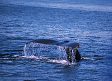 Whale tale Stock Image