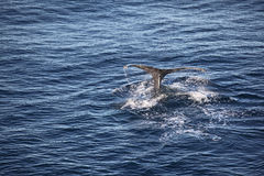 A whale tale. Whale tale above the surface Royalty Free Stock Photography
