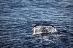 Whale tale. In North Atlantic Royalty Free Stock Photo