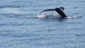 Whale of a Time Royalty Free Stock Images
