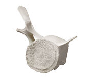 Whale vertebra bone section isolated. Royalty Free Stock Photo