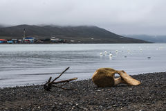 Whale vertebrae on the shore of the Chukchi river Stock Images