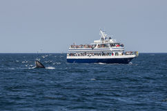 Whale watchers and seagulls. A whale watching tour boat close to a humpbacks mouth with seagulls flying over the surface royalty free stock photography