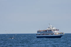 Whale watchers and seagulls. A whale watching tour boat close to a humpbacks tail with seagulls flying over the surface stock photo