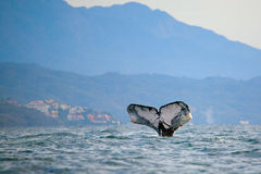 Whale watching. In the Banderas Bay near Puerto Vallarta, Mexico stock images