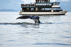 Whale watching adventure. From Juneau Alaska , Marine life , Humpback whale tail Royalty Free Stock Photography