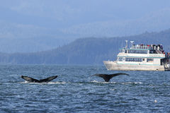 Whale Watching in Alaska. Two Humpback Whales show their flukes for whale watchers in Alaska Stock Image