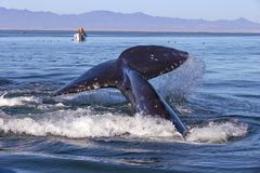 Whale watching in Baja. Whale watching in Ojo De Liebre Lagoon, Baja California Norte, Mexico royalty free stock images
