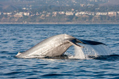 Whale Watching in California. Blue whale watching of the shores of Dana Point, California royalty free stock photos