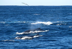 Whale watching cruise. Two humpbacks and a seagull during Whale Watching Cruise Stock Images