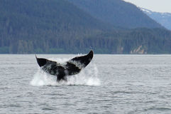 Whale watching, humpback whales in Alaska Stock Photography