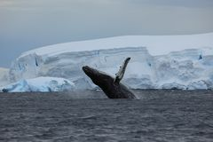 Whale Watching of Humpback Whales in Antarctica. The Whale Watching of Humpback Whales in Antarctica stock images