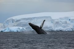 Whale Watching of Humpback Whales in Antarctica. The Whale Watching of Humpback Whales in Antarctica royalty free stock image