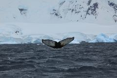 Whale Watching of Humpback Whales in Antarctica. The Whale Watching of Humpback Whales in Antarctica stock photography