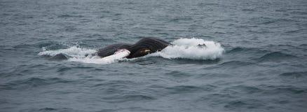 Whale watching, Husavik Stock Photography