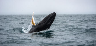 Whale watching, Husavik Stock Photos