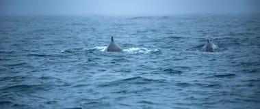 Whale watching, Husavik, Iceland Stock Photography