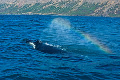 Whale Watching in Iceland. Humpback and rainbow stock images