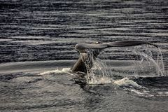 Whale watching on iceland stock photo