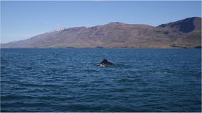 Whale watching in Iceland. A humpback whale floating in its natural environment, Eyjafjordur in Akureyri city, Iceland royalty free stock photo