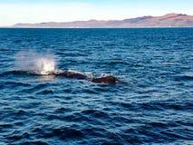 Whale. Watching whale kaikoura Stock Image