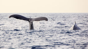 Whale watching. In Los Angeles royalty free stock image