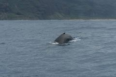 Whale watching at Napali Coast on Kauai, Hawaii. In winter stock photography