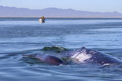 Whale watching in Baja. Whale watching in Ojo De Liebre Lagoon, Baja California Norte, Mexico stock images