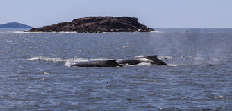 Whale watching in port stephens,australia. Whale watching is taken  in port stephens,australia Stock Photography