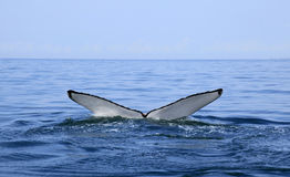 Whale watching in Puerto Vallarta Stock Image
