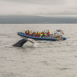 Whale watching safari with humpback whales at Iceland. Summer, 2015 stock photo
