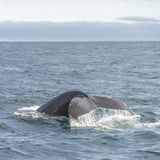 Whale watching safari with humpback whales at Iceland. Summer, 2015 stock photos