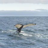 Whale watching safari with humpback whales at Iceland. Summer, 2015 Royalty Free Stock Images