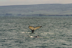 Whale watching safari with humpback whales at Iceland. Summer, 2015 stock image