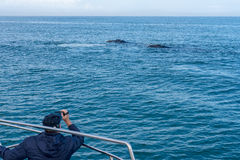 Whale watching in South Africa Royalty Free Stock Images