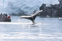 whale in the waters of the Antarctic royalty free stock photo