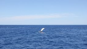 Whale waving his fin on water surface in Pacific ocean. Kit sends greetings to all animal lovers on background of blue lagoon. Unique video for film in blue stock footage
