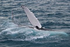 Whale waving. A humpback whale waves to viewers on a whale boat off Fraser Island Stock Photography